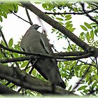 Mourning Dove in Tree by BlueMoonRose