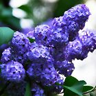 Evening Lilacs by WarrenMangione