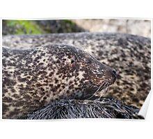 Wild Seal Up Close Poster
