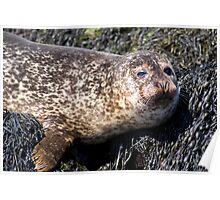 Wild Seal Up Close II Poster
