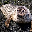 Wild Seal Up Close III by Claire Tennant