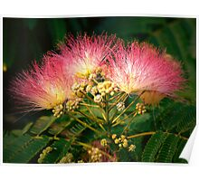 """The Beautiful Mimosa Tree"" Poster"