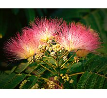 """The Beautiful Mimosa Tree"" Photographic Print"