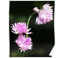Chive Flowers-Orton Poster