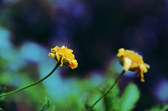 Cute Yellow Flowers by Denis Marsili - DDTK