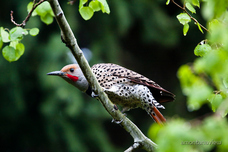 Northern Flicker - Colaptes auratus by amontanaview