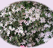 Pink Clematis Oval Vignette by BlueMoonRose