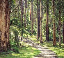 Mountain Ash in the Dandenongs - Melbourne, Victoria by sjphotocomau
