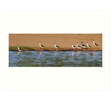 Black-necked Stilts Art Print
