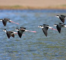 Black-necked Stilts by DavidQuanrud