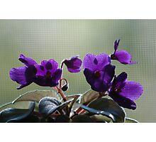 African violets Photographic Print