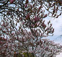 Magnolia Sky by MarianBendeth