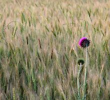 Thistle in Wheat by cjmetcalf