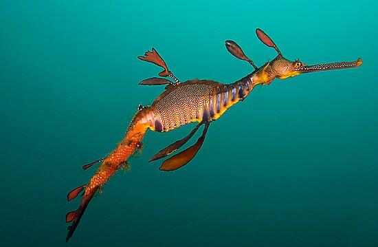 Tassie Dragon by MattTworkowski