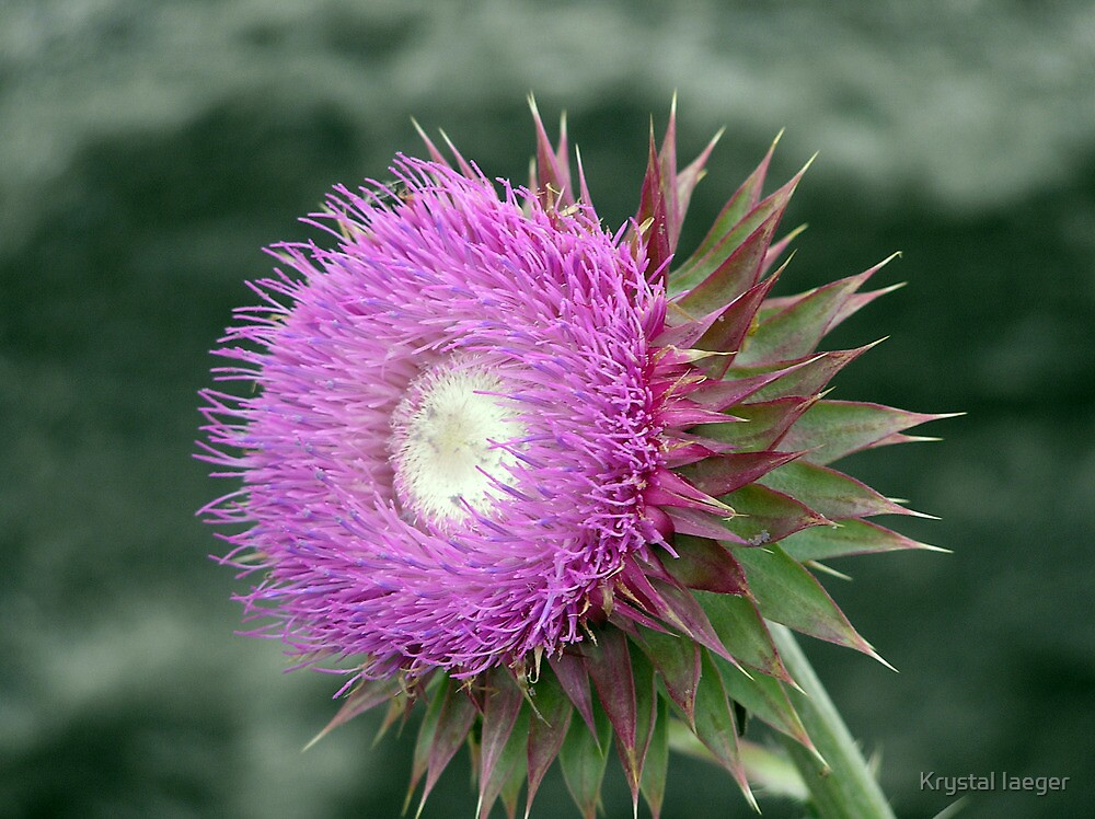 Unknown Flower by Krystal Iaeger
