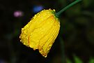 Yellow Iceland Poppy by Tori Snow