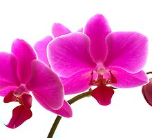Orchids On White by ShotsOfLove