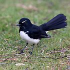 Little willy wagtail by Doug Cliff