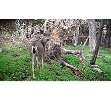 Deer Rear Photographic Print
