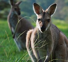 Pretty Faced Wallaby by Matthew Smith