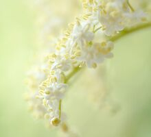 Elderflower Cascade by Donna-R