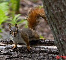 American Red Squirrel (Tamiasciurus hudsonicus) by Matthew Hebert