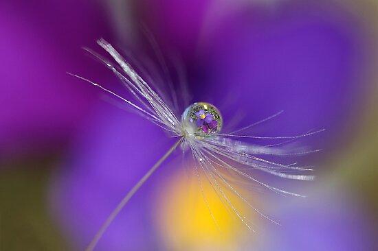 Dandelion droplet by Melinda Gaal