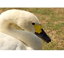 The Whooper Photographic Print