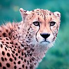 Cheetah - Wildlife Heritage Foundation by Nick Tsiatinis