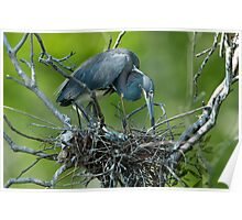 Tricolor Heron on her Nest Poster