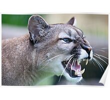 Snarling Puma - Wildlife Heritage Foundation Poster