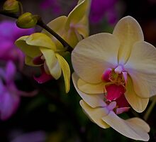 Orchid Madness by DPPhoto