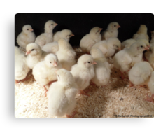 Cluster of Baby Chicks! Canvas Print