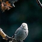Clark's Nutcracker by pj johnson