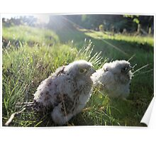 Kestrel Chicks (Falco tinnunculus) Poster
