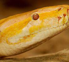 Albino Python by Alexa Pereira