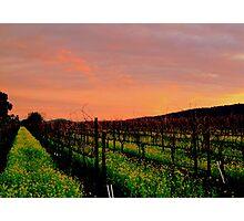 Vineyard 4, Alexander Valley, California Photographic Print
