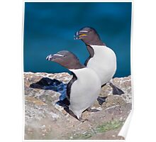 Oooh Look Love... the Tourists have arrived... (Razorbills) Poster