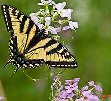 Yellow Swallowtail Butterfly (Papilio Machaon)  by Matthew Hebert