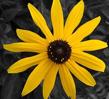 Yellow Daisy  by Sandra Cockayne