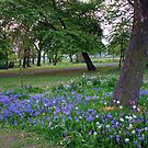 Bluebells in the West Park, South Shields by BlueMoonRose