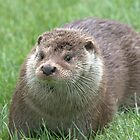 European otter by Grandalf