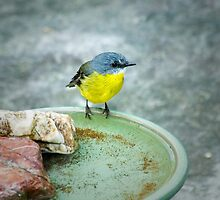 Eastern Yellow Robin by Dilshara Hill