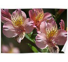 Pink flower 3185 Poster
