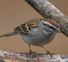 A Tiny Sparrow by Regenia Brabham