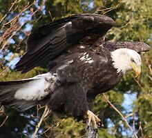 Bald Eagle One by MarquisImages