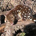 Spotted Quoll At Devil Sanctuary, Cradle Mountain, Tasmania,Australia. by kaysharp