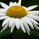 Ox-eye Daisy by lorilee