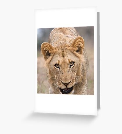 Juvenile Male Lion  Greeting Card