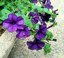 Purple Petunias by Elizabeth Bennefeld
